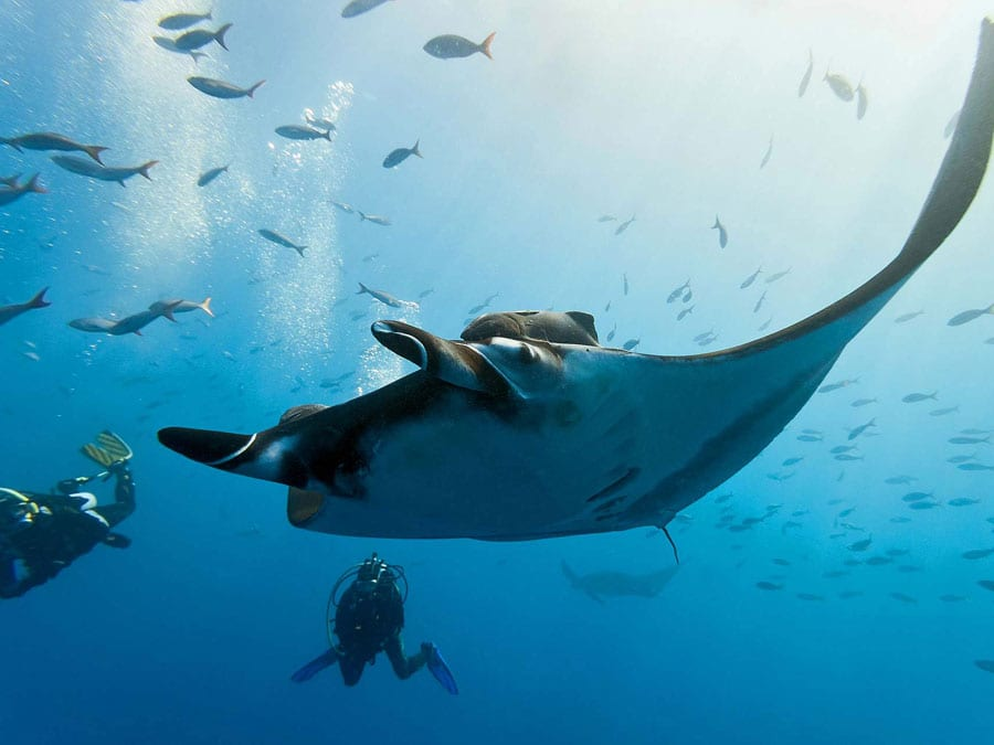 diving with manta rays in fiji